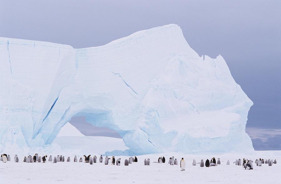 Antarctica, Emperor Penguin Aptenodytes Photograph by Joseph Van Os