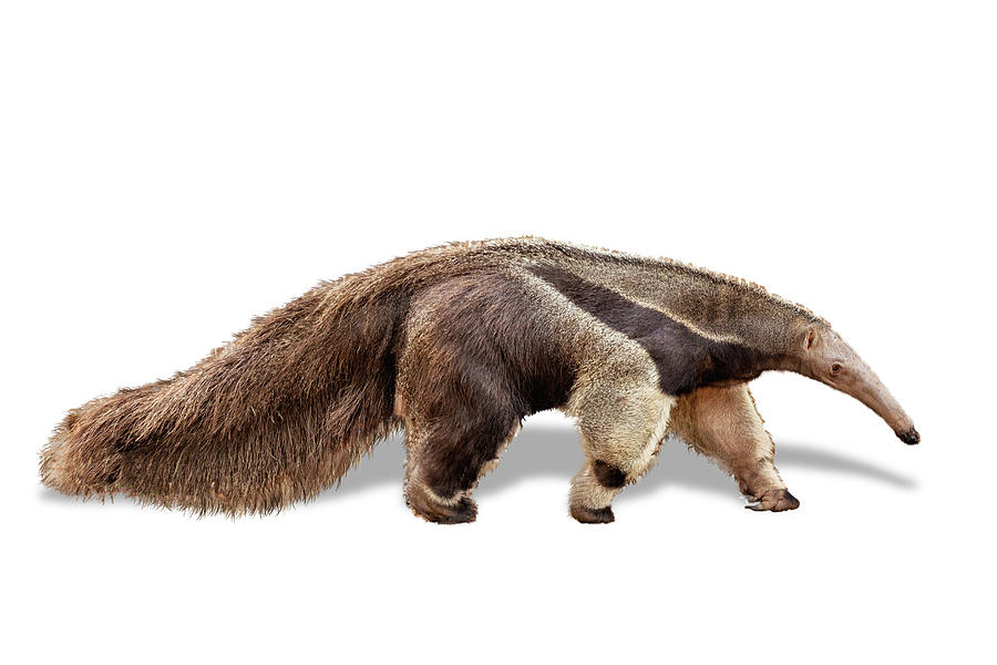 Anteater Facing Side Extracted by Susan Schmitz