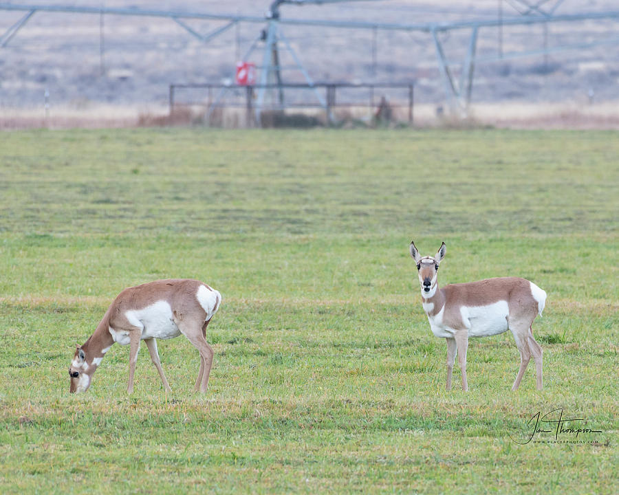 Antelope in the Field by Jim Thompson