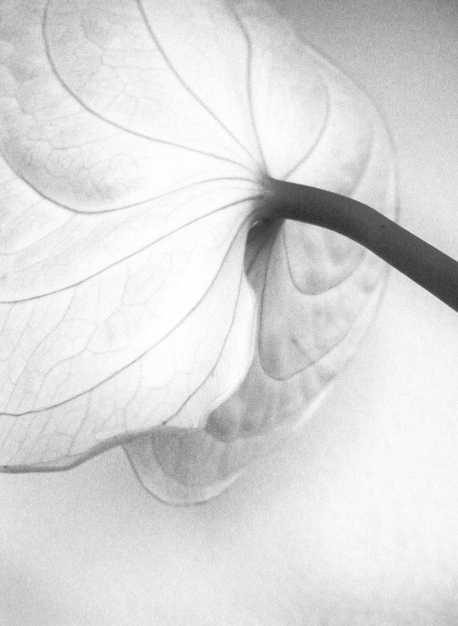 Anthurium Flower Photograph by Sandrine Bron