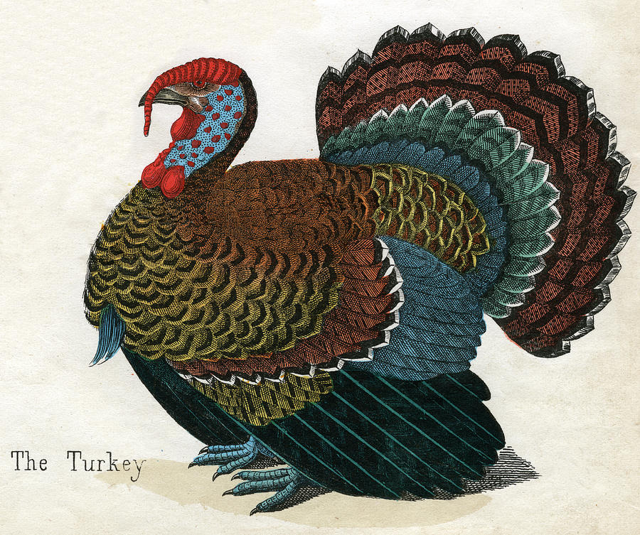 Antique Print Of A Turkey Photograph by Graphicaartis