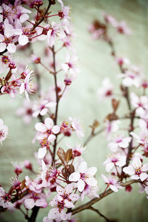 Antiqued Cherry Blossom Photograph by Catlane