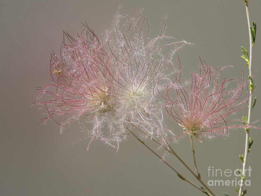 Apache Plume Blown Flower by Christy Garavetto