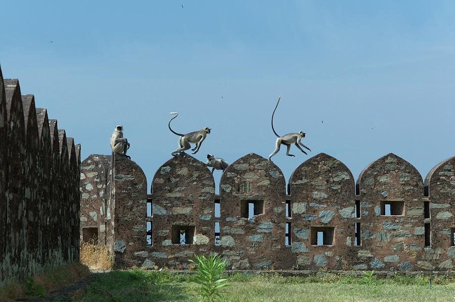 Apes Playing At Kumbhalgarh Photograph by Dominik Eckelt