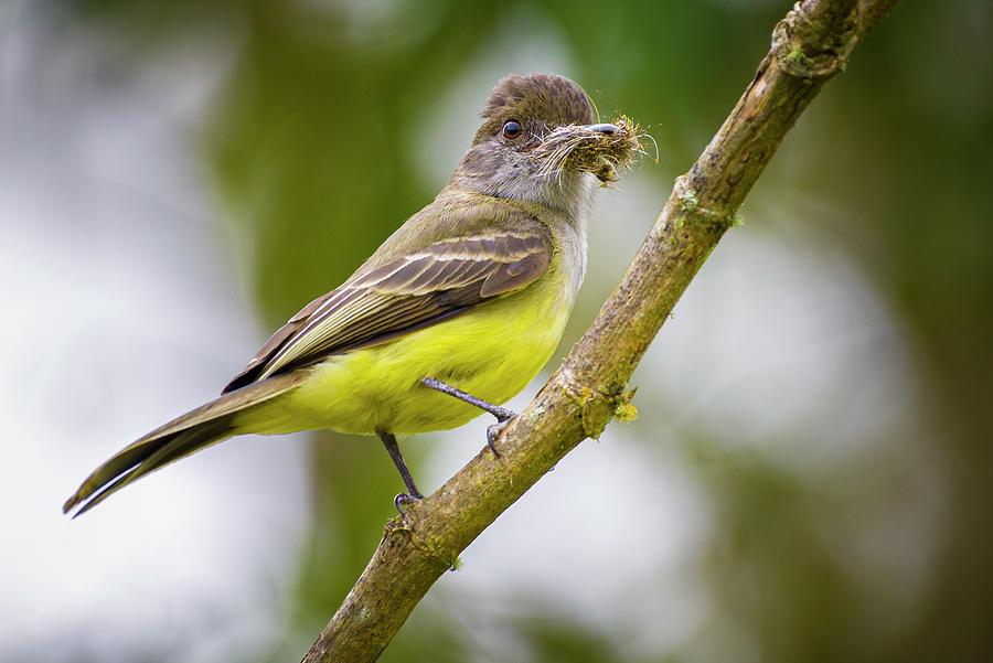Apical Flycatcher Fincas Verdes San Antonio Tolima Colombia by Adam Rainoff