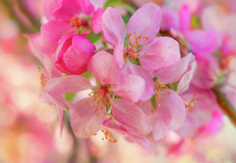 Apple Photograph - Apple Blossom 12 by Leland D Howard
