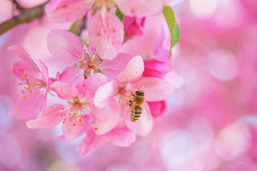 Apple Photograph - Apple Blossom 2 by Leland D Howard