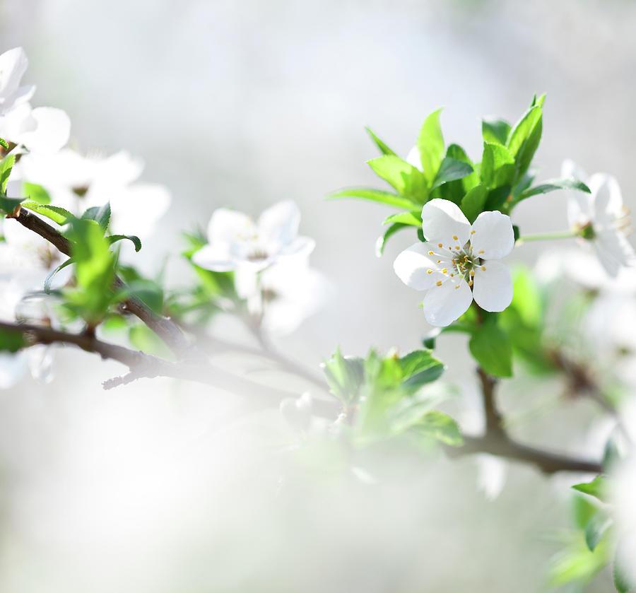 Apple Blossom Photograph by Jasmina007