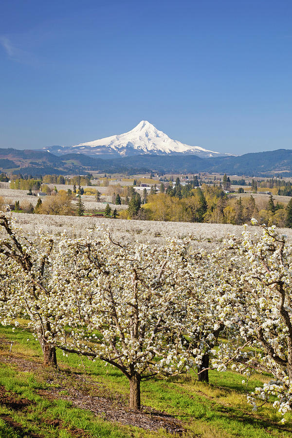 Apple Blossom Trees And Mount Hood In Photograph by Design Pics / Craig Tuttle