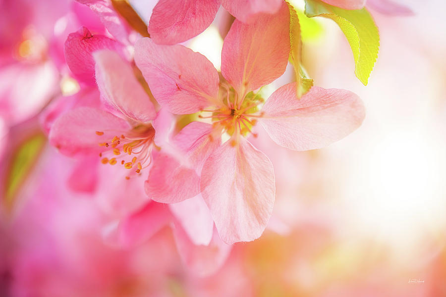Nature Photograph - Apple Blossoms Bright Glow by Leland D Howard