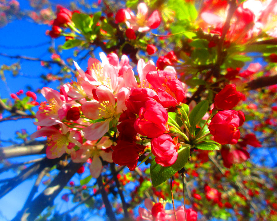 Apple Blossoms in Late Winter 2019 002 by Michael Genevro