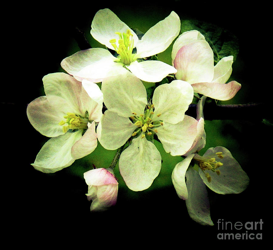Apple Blossoms in the Spring by Hazel Holland