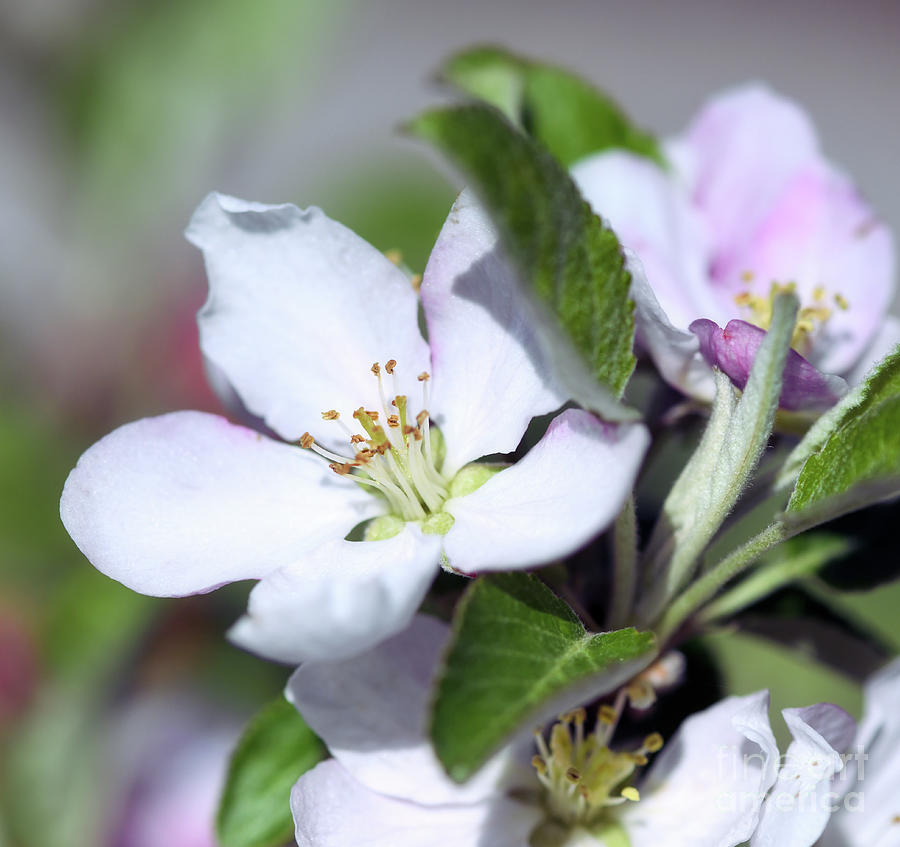 Apple Blossoms by Kerri Farley