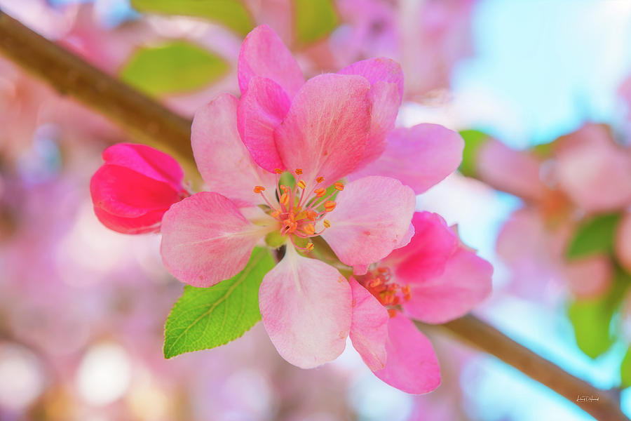 Nature Photograph - Apple Blossoms Red And Blue by Leland D Howard