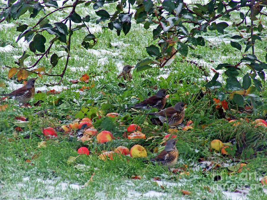 Apple feast for Fieldfares by Phil Banks