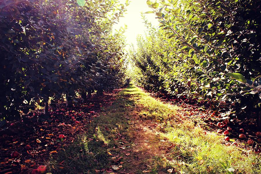 Apple Orchard by Candice Trimble