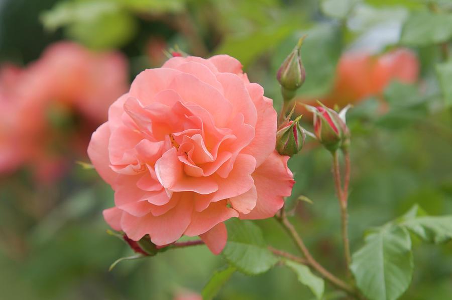 Apricot Orange Rose Westerland 1 by Jenny Rainbow