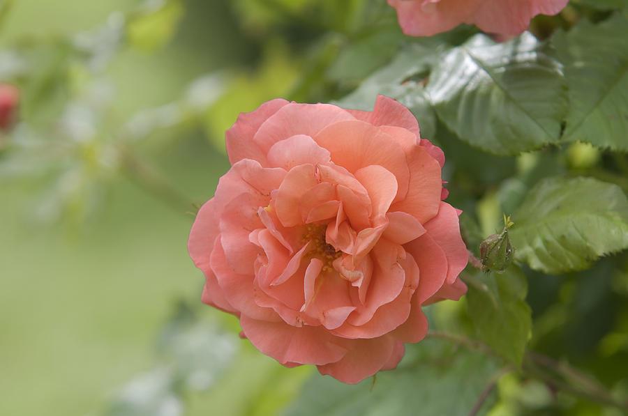 Apricot Orange Rose Westerland 2 by Jenny Rainbow