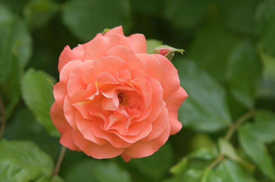 Apricot Orange Rose Westerland by Jenny Rainbow