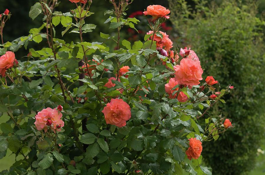 Apricot Orange Roses Westerland by Jenny Rainbow