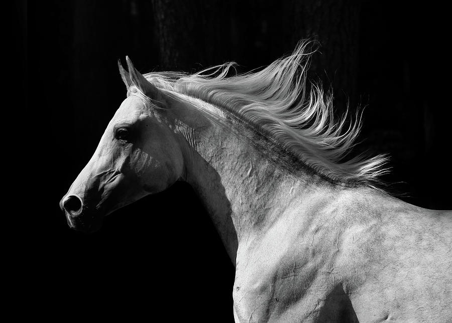 Arab Stallion Photograph by Photographs By Maria Itina