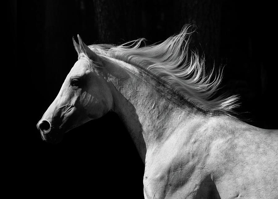 Arab Stallion Photograph by Photographs By Maria Itina