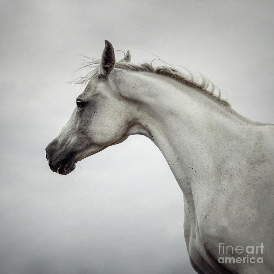 Arabian Horse Portrait by Dimitar Hristov