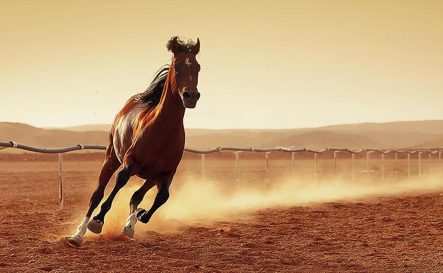 Arabian Horse Photograph by Rashed Alsikhan