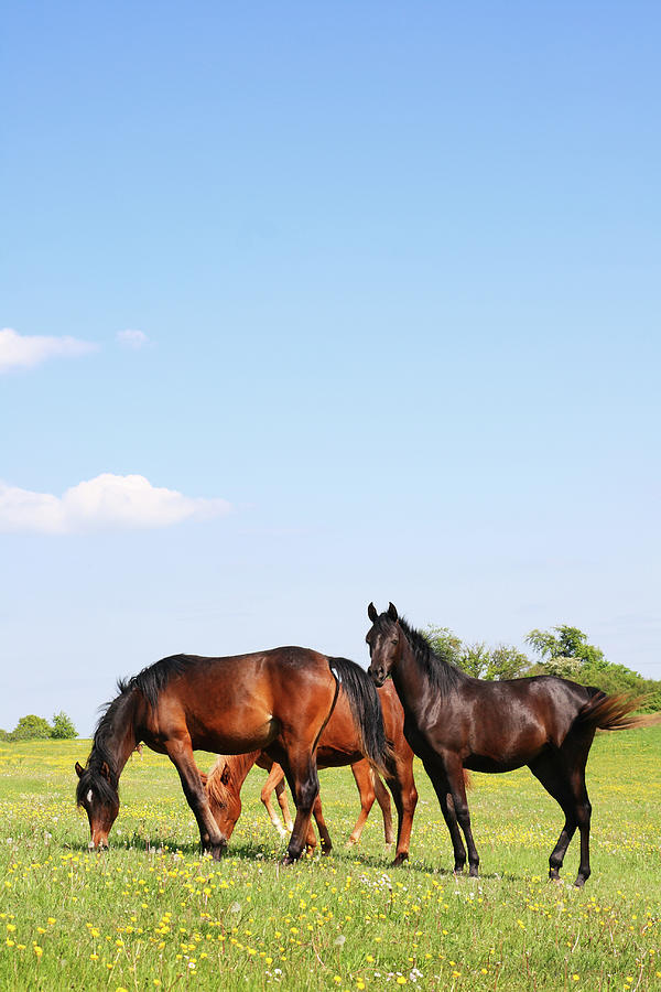 Arabian Horses On Colorful Pasture With Photograph by Knaupe