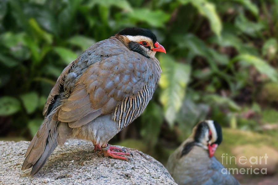 Arabian Partridge by Arterra Picture Library