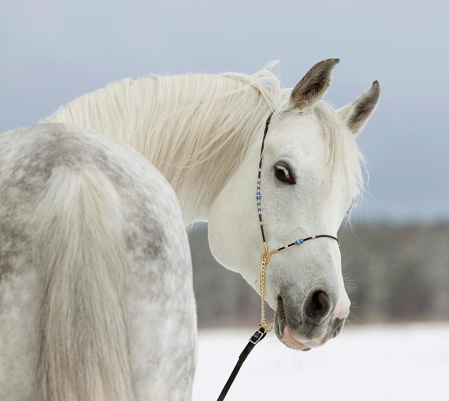 Arabian Stallion Photograph by Photographs By Maria Itina