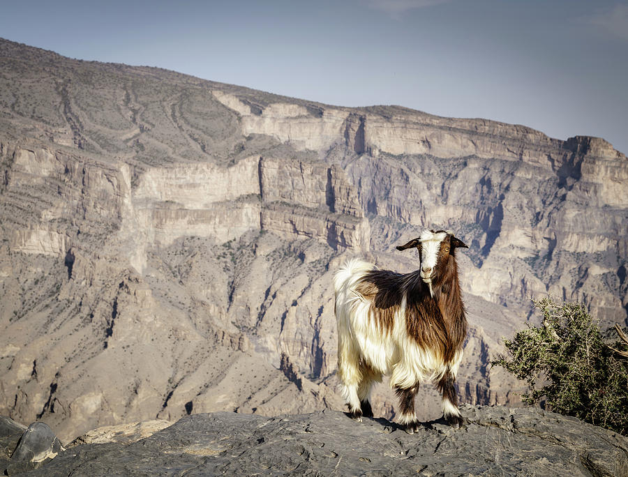 Arabian Tahr At Jebel Shams In Oman Photograph