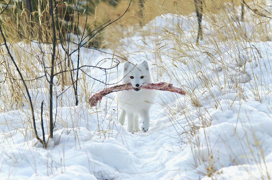 Arctic Fox Alopex Lagopus In White Photograph by Mark Newman / Design Pics