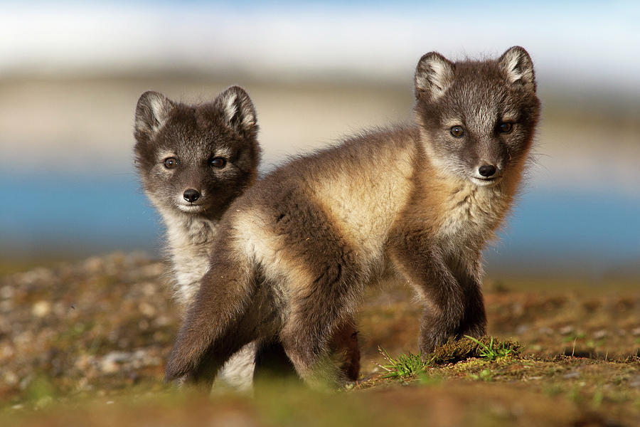 Arctic Fox Kits by Jasper Doest