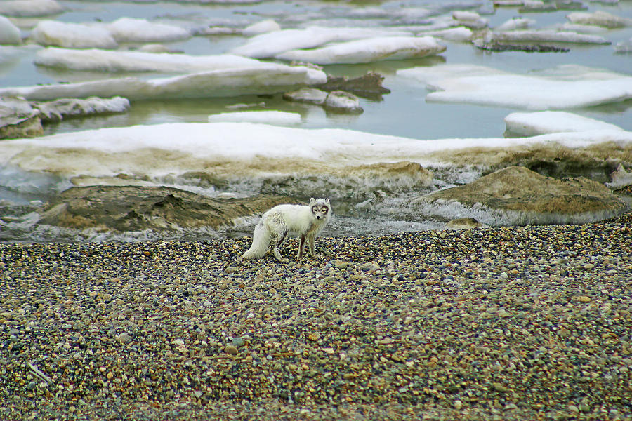 Arctic Fox on the Rocks by Anthony Jones