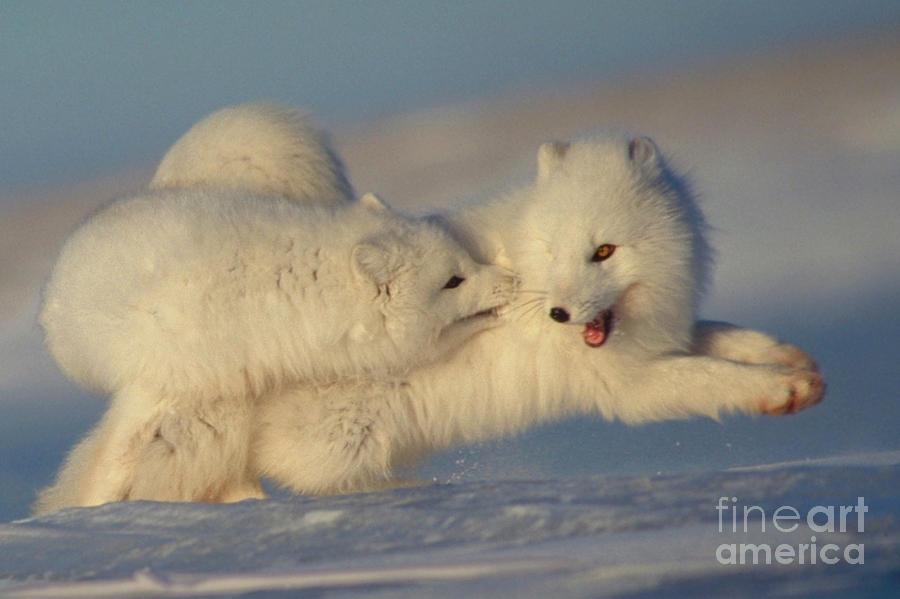 Arctic Fox Play by Ron Sanford