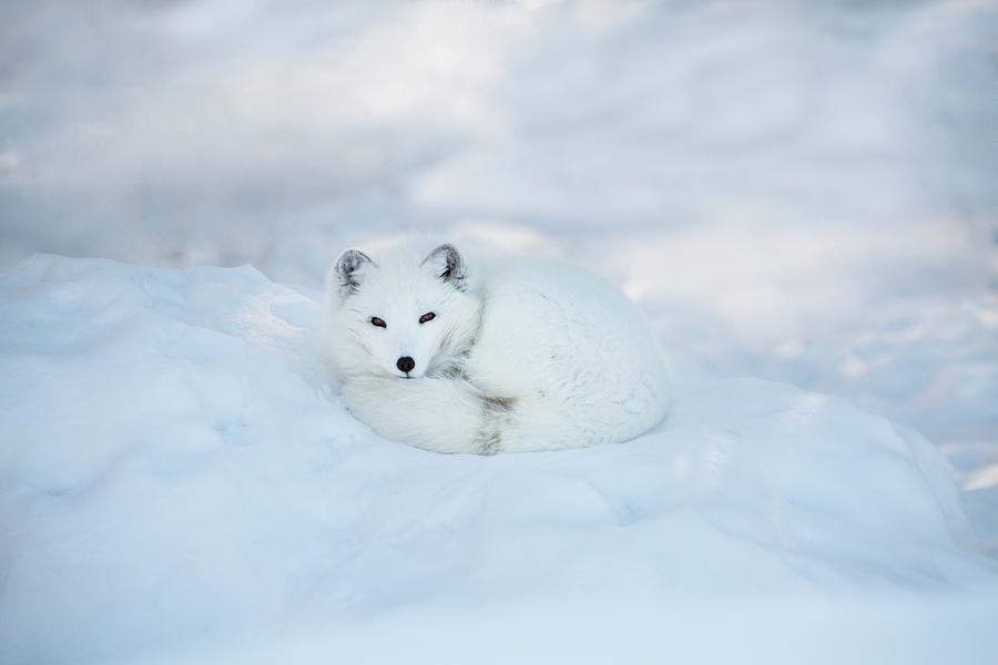 Arctic Fox Resting In The Snow Photograph by Seppfriedhuber