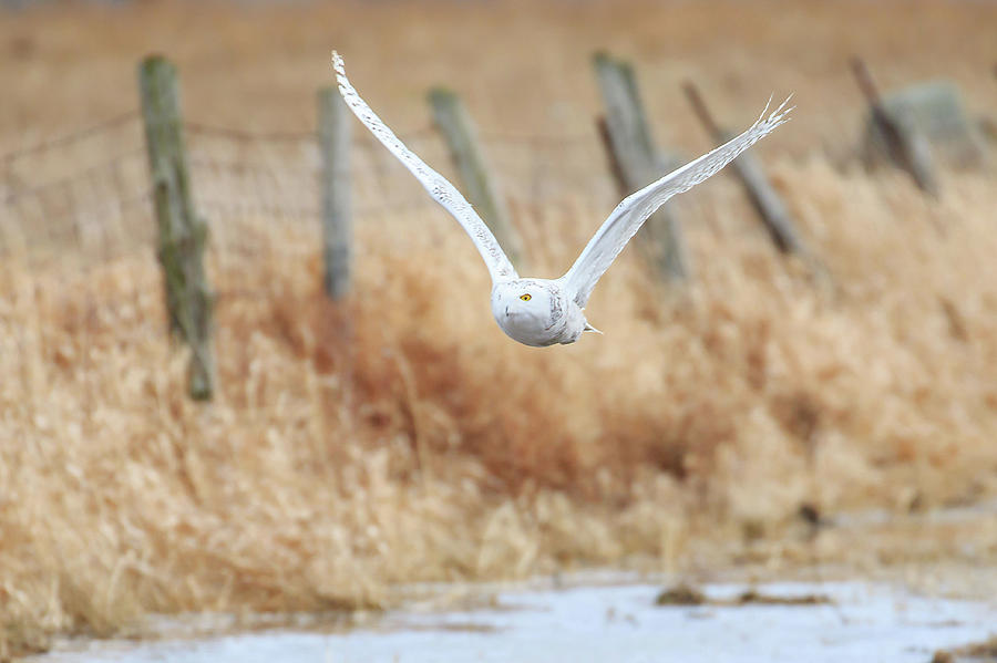 Arctic Owl on the Hunt by Gary Hall