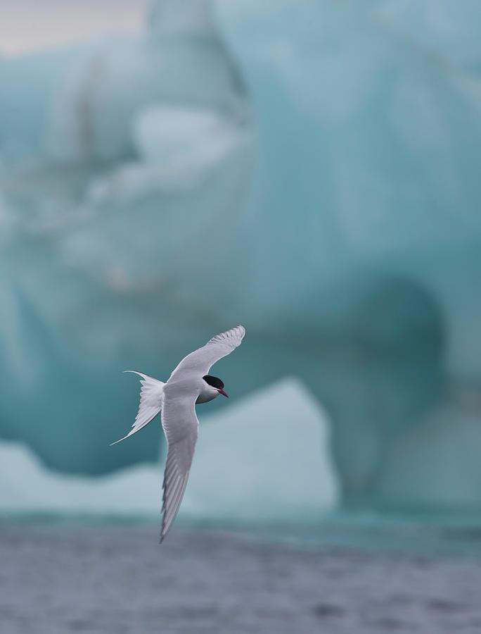 Arctic Tern In Flight Backdrop Iceberg Photograph by Darrell Gulin