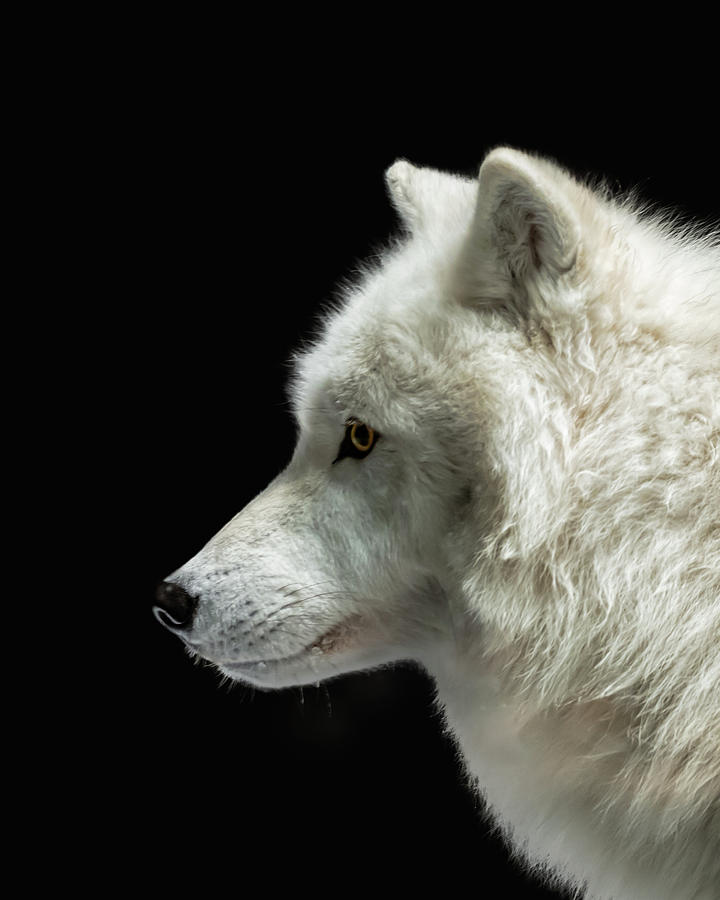 Arctic Wolf in Profile by Susan Rissi Tregoning
