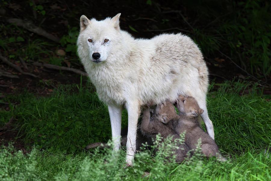 Arctic Wolf Pups Feeding Photograph by Jim Cumming