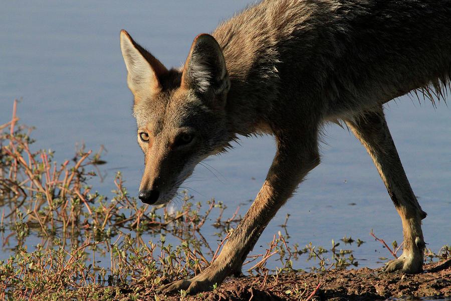 Coyote Photograph - Arizona Coyote  by Peri Ann Taylor