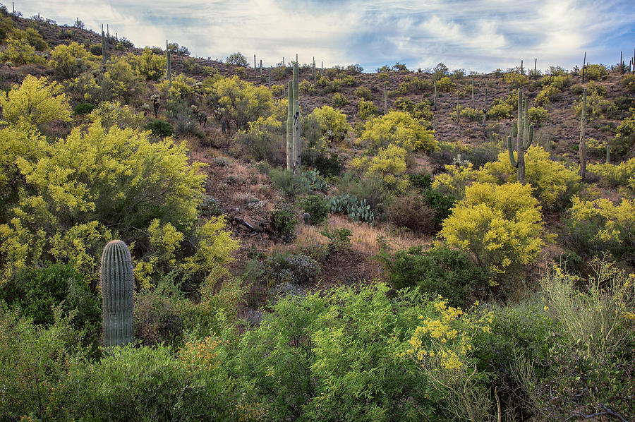 Arizona Paloverde blooming by Dave Dilli