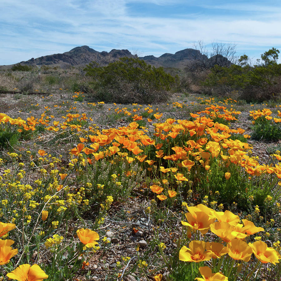 Arizona Poppy Landscape by Cascade Colors