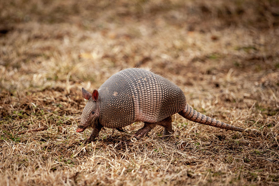 Armadillo by Jeff Phillippi
