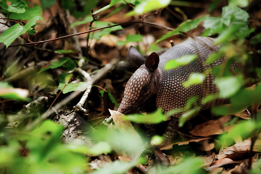 Armadillo  by Kevin Banker