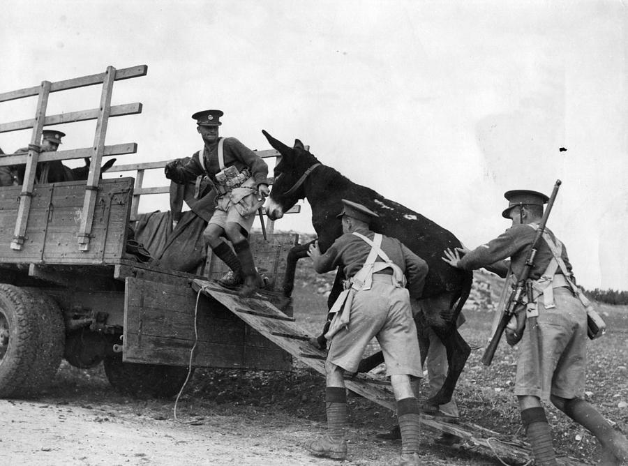 Army Donkeys Photograph by Fox Photos
