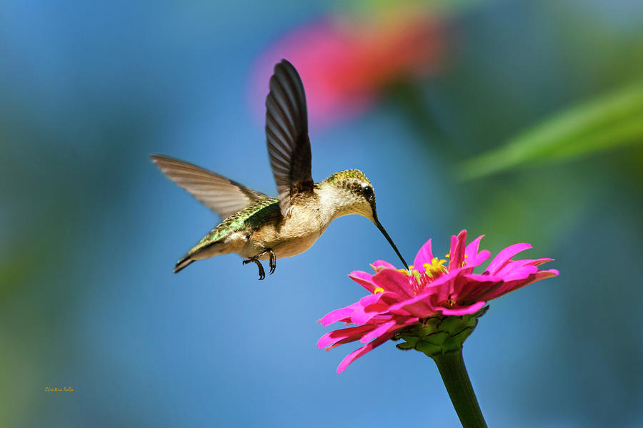 Art of Hummingbird Flight by Christina Rollo