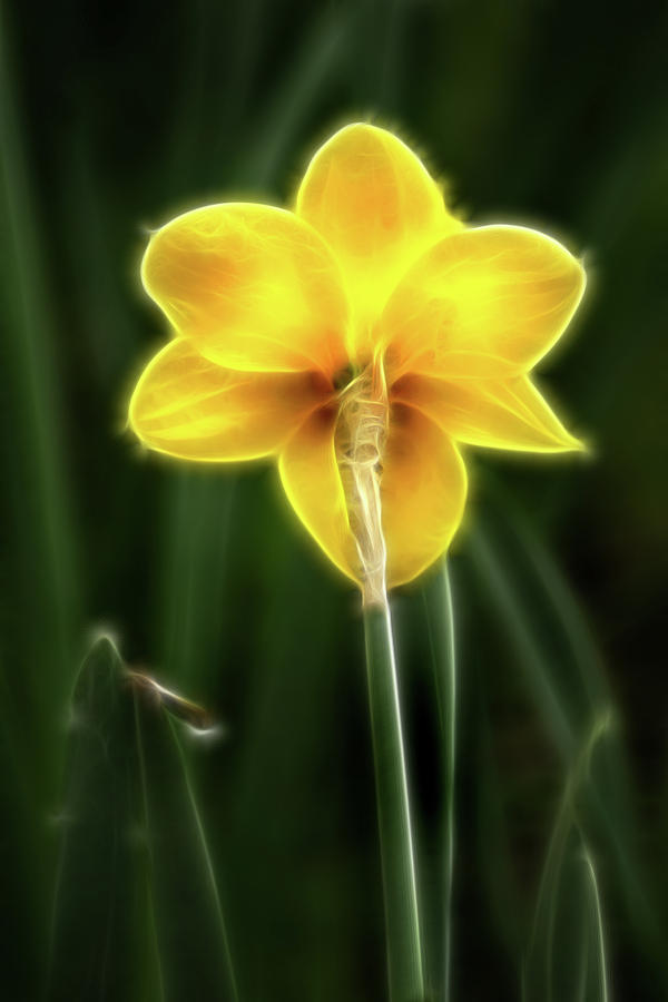 Artistic Back of Daffodil by Don Johnson