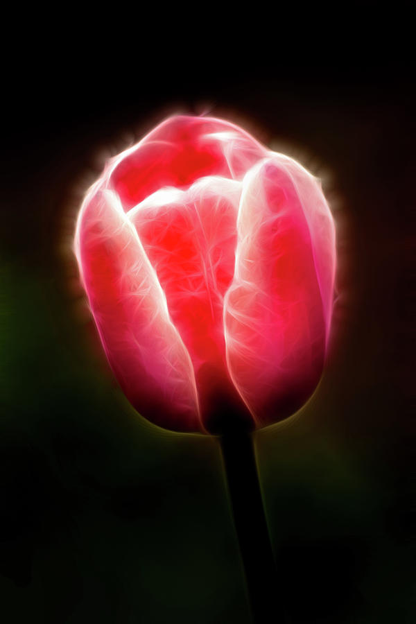 Artistic Pink Tulip Profile by Don Johnson